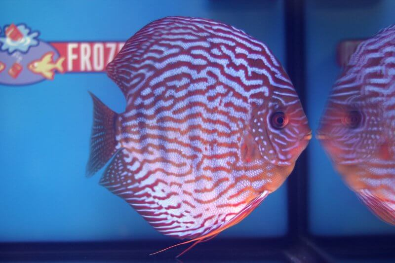 5e Plaats – Klasse indeling: gestreept – Aquarium: 27 – Punten: 73,04