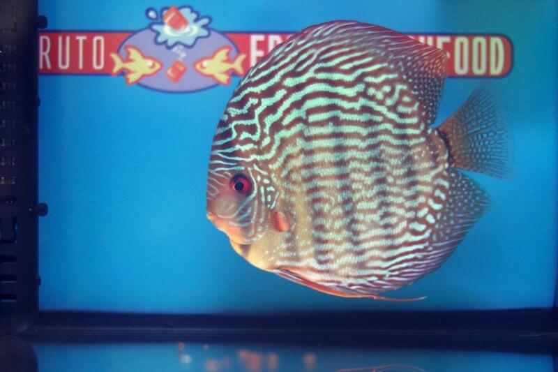 10e Plaats – Klasse indeling: gestreept – Aquarium: 29 – Punten: 68,72