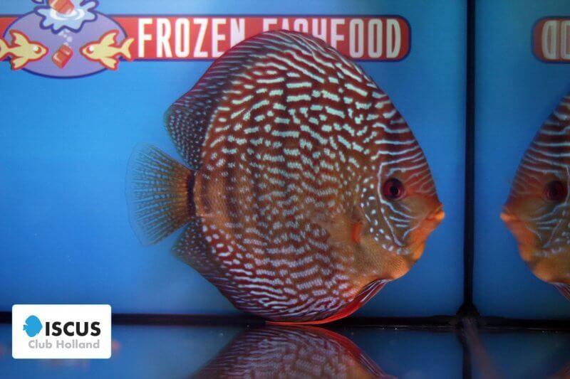 6e Plaats – Klasse indeling: gestreept – Aquarium: 42 – Punten: 72,64