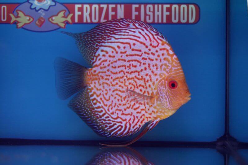 10e Plaats – Klasse indeling: patroon – Aquarium: 48 – Punten: 60,68