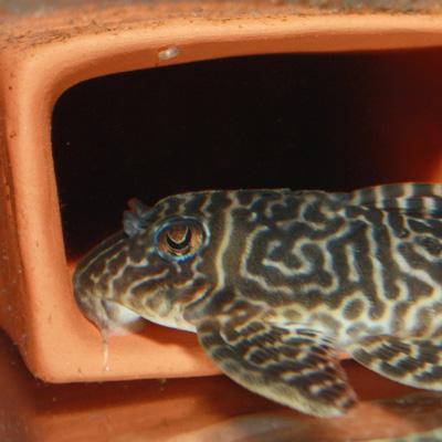 Thumbnail: Hypancistrus sp. L410