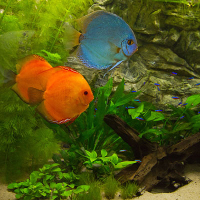 Thumbnail: Aquariumplanten voor een discus aquarium