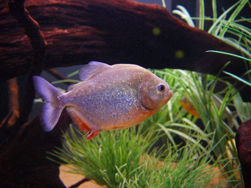 Deze vredelievende piranha zal zeker stress veroorzaken bij de aquariumvissen.