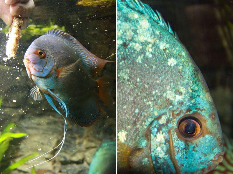 Deze vis is 8 jaar oud en eet letterlijk uit de hand. Hij heeft al ouderdomskenmerken, maar heeft met gemak het meeste gezag in het aquarium.