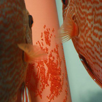 Stendker - Snake Skin Red discus koppel met eitjes op de afzetkegel