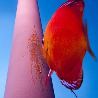 Stendker - Marlbore Red discusvis met eitjes op de afzetkegel