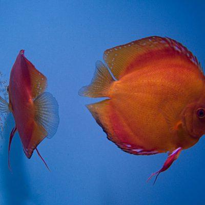 Stendker - Malboro Red discus koppel heeft eitjes op het aquariumglas
