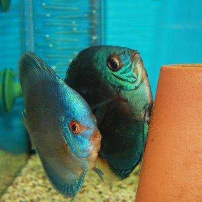 Stendker - Kobalt Blue discus koppel eitjes aan het leggen op een bloempot