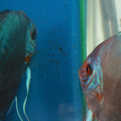 Stendker - Kobalt Blue discus koppel met larven op een filtermat