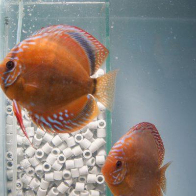 Stendker - Santarem discus koppel met eitjes op het aquariumglas