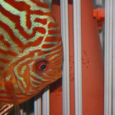 Stendker - Red Turquoise discusvis met eitjes op de kegel die die wordt afgeschermd met Knex