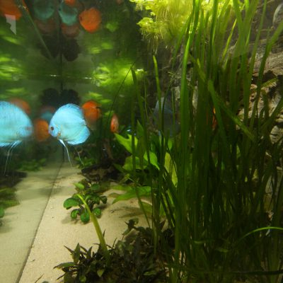 Zijaanzicht show aquarium met Stendker discusvissen: Cobalt Blue, Malboro Red