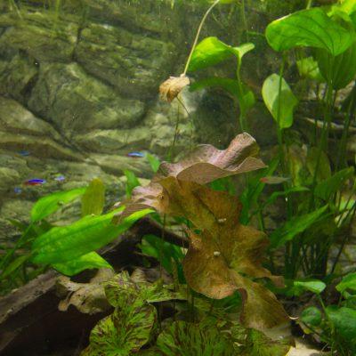 """Discus show aquarium met waterplanten, Hemigrammus bleheri """"Roodkopzalmpjes"""" en Paracheirodon innesi """"Neonterta"""""""