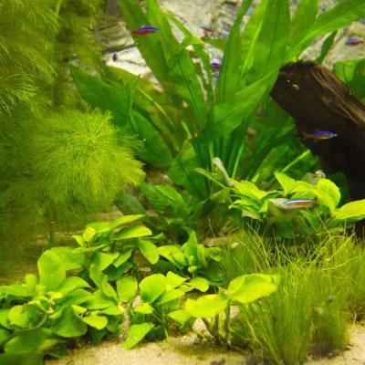 "Show aquarium met Paracheirodon innesi ""Neontetra"""