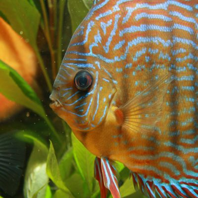 Show aquarium met Piwowarski discusvissen: Red Turquoise