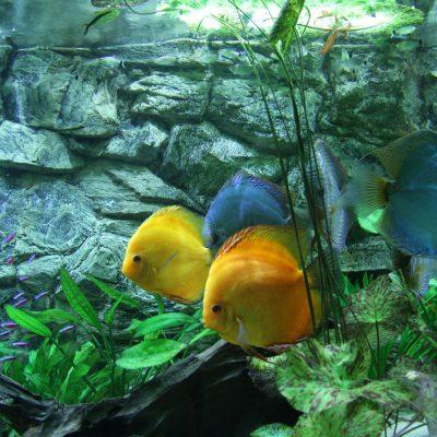 Show aquarium met Stendker discusvissen: Malboro Red, Cobalt Blue