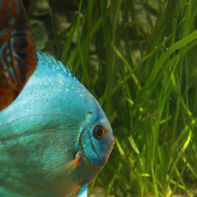 Show aquarium met Stendker discusvissen: Cobalt Blue, Red Turquoise
