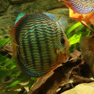 Show aquarium met Stendker discusvissen: Red Turquoise discusvis