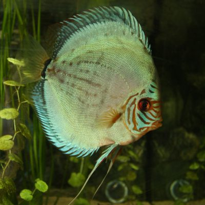 Show aquarium met Stendker discusvissen: Cobalt Blue