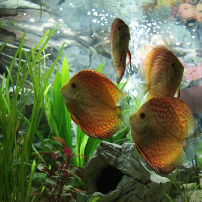 Aquarium fotografie voorbeeld foto: Belichting vissen niet optimaal