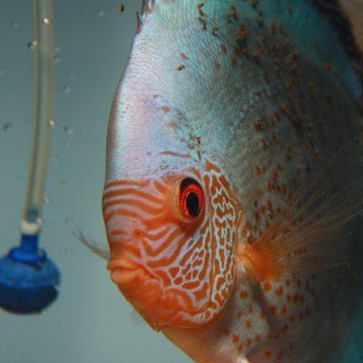 Aquarium fotografie voorbeeld foto: Snelle sluitertijd waardoor de luchtbellen goed zichtbaar zijn.