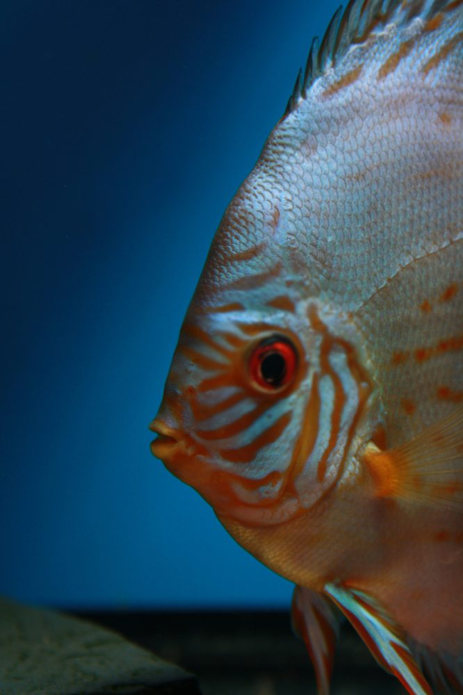 Aquarium fotografie voorbeeld foto: De ogen staan niet scherp op beeld