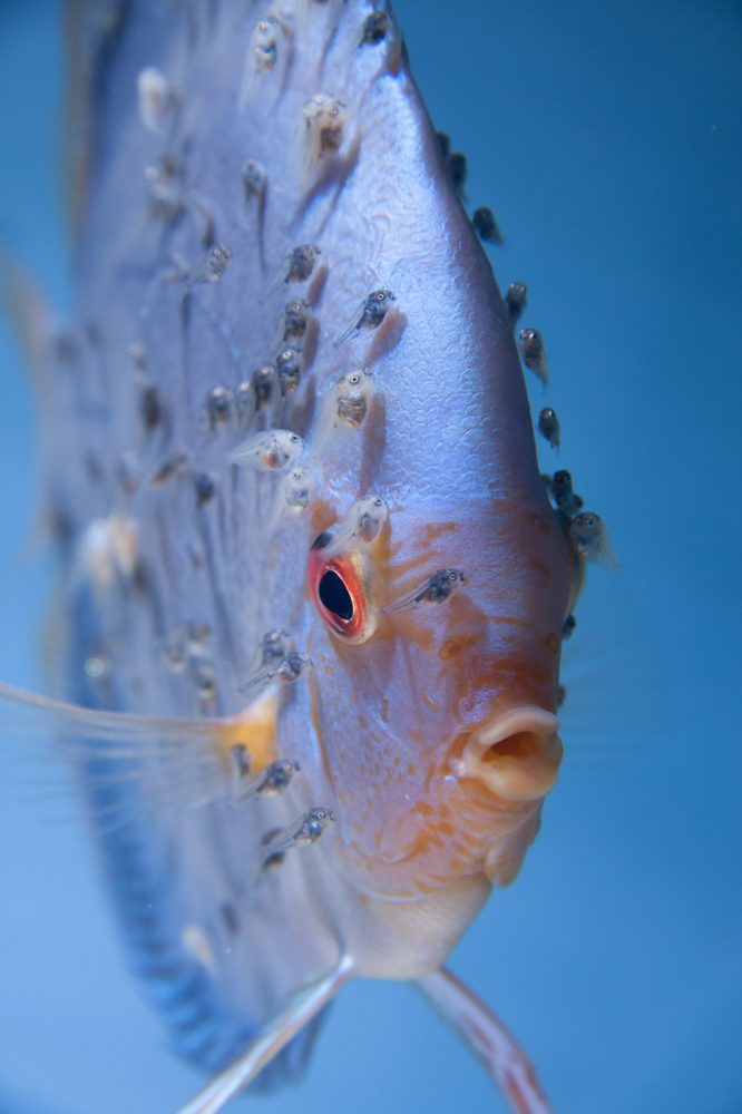 Aquarium fotografie voorbeeld foto: Het oog wat op de voorgrond staat moet scherp op de foto staan.