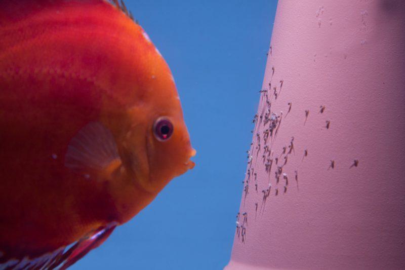 Aquarium fotografie voorbeeld foto: Het onderwerp zijn de larven