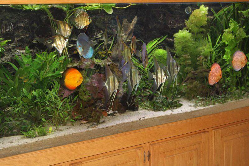 Afbeelding: Discusvissen en altums in een 2 meter aquarium