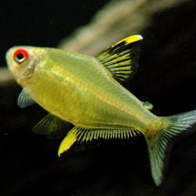 Citroen Tetra - Hyphessobrycon pulchripinnis