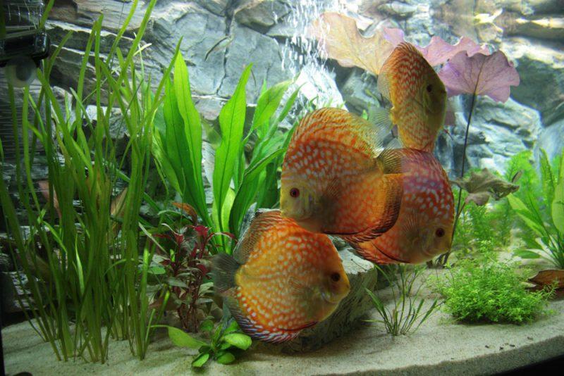 Show aquarium met Stendker discusvissen: Pigeon Blood Red