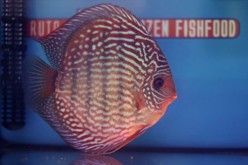 12e Plaats – Klasse indeling: gestreept – Aquarium: 36 – Punten: 68,24