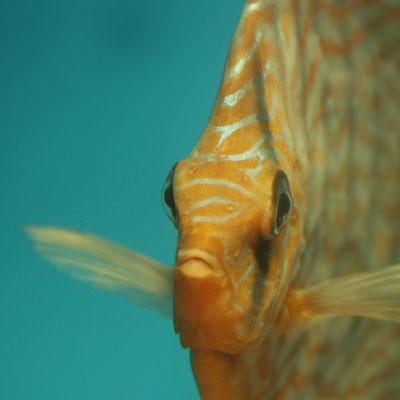 Thumbnail: Euthanasie van aquariumvissen