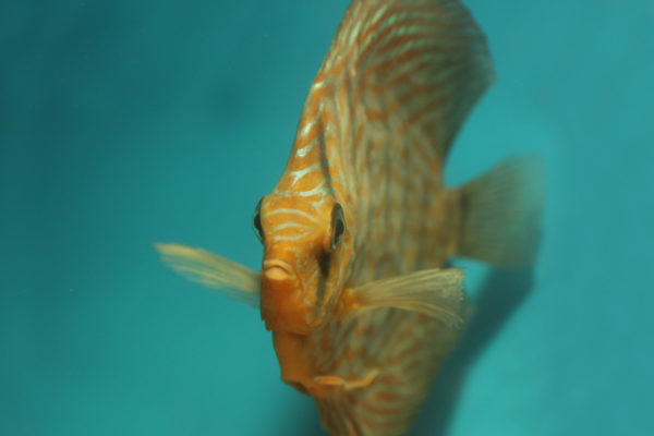 Euthanasie van aquariumvissen