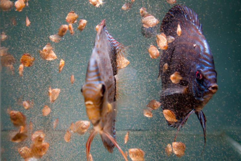 Ze zwemmen letterlijk tussen de arthemia
