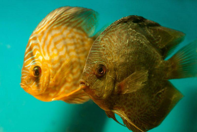 Deze visjes voelen zich niet erg lekker na de kruisbesmetting.