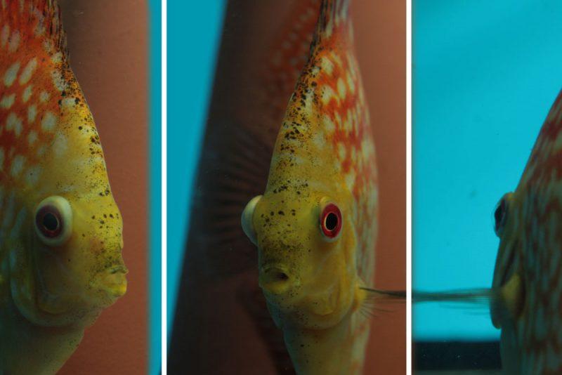 Puilogen worden vaak verward met andere ziekten bij vissen.