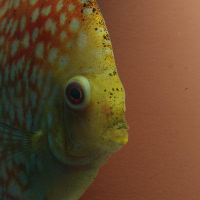 Thumbnail: Een Popeye bij aquariumvissen
