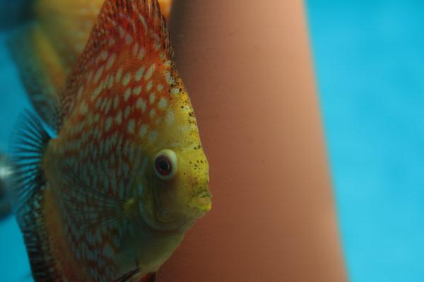 Een Popeye bij aquariumvissen