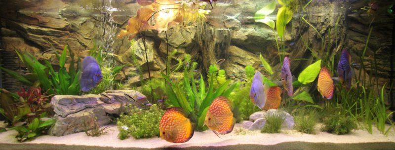 Een Juwel 360 als discus aquarium.