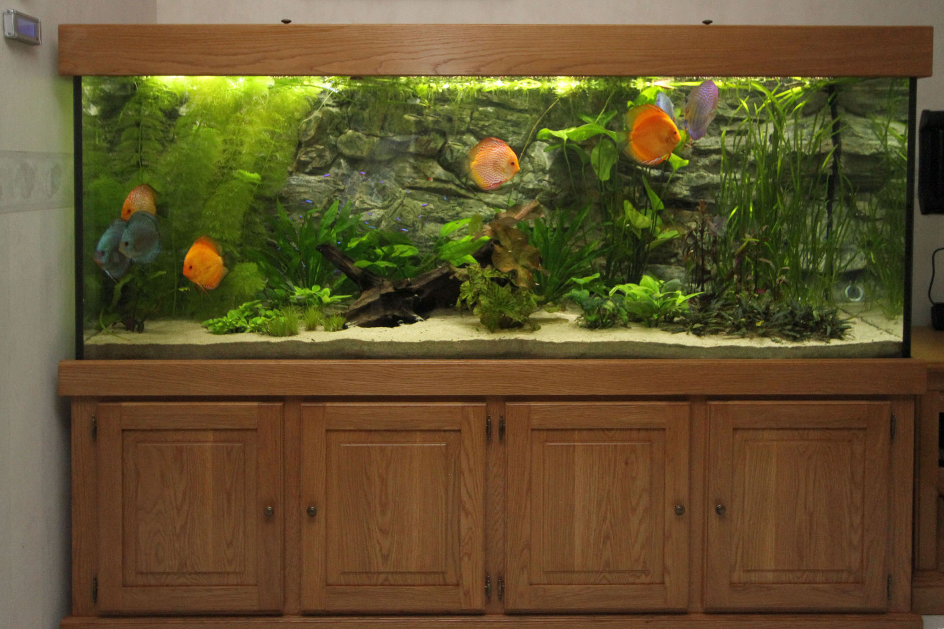 Vooraanzicht eiken show aquarium met Stendker discusvissen
