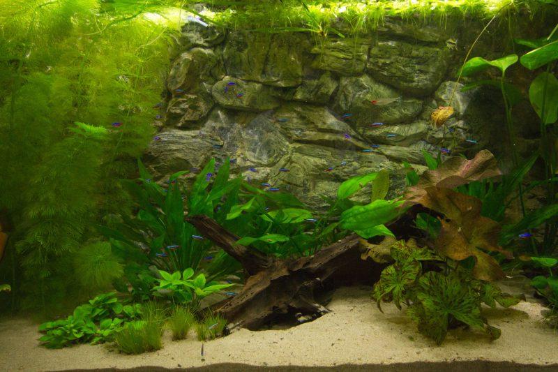 "Show aquarium met Paracheirodon innesi ""Neonterta"""