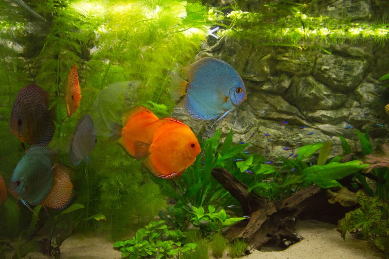 "Show aquarium met Stendker discusvissen: Cobalt Blue, Malboro Red, Red Turquoise en Paracheirodon innesi ""Neonterta"""