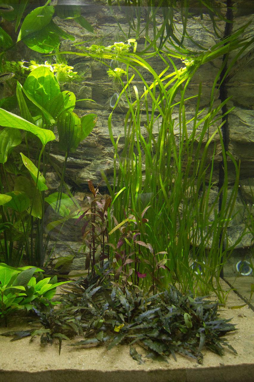 Rechter zijkant discus show aquarium met waterplanten