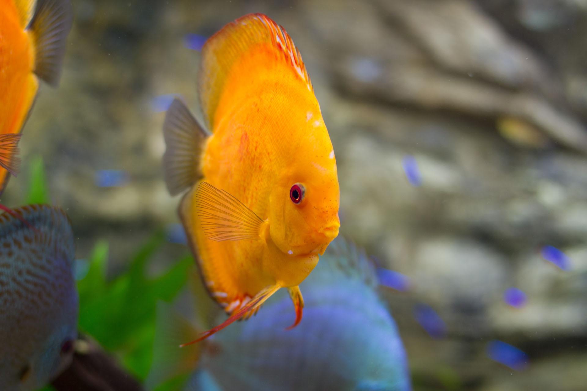 Show aquarium met Stendker discusvissen: Malboro Red