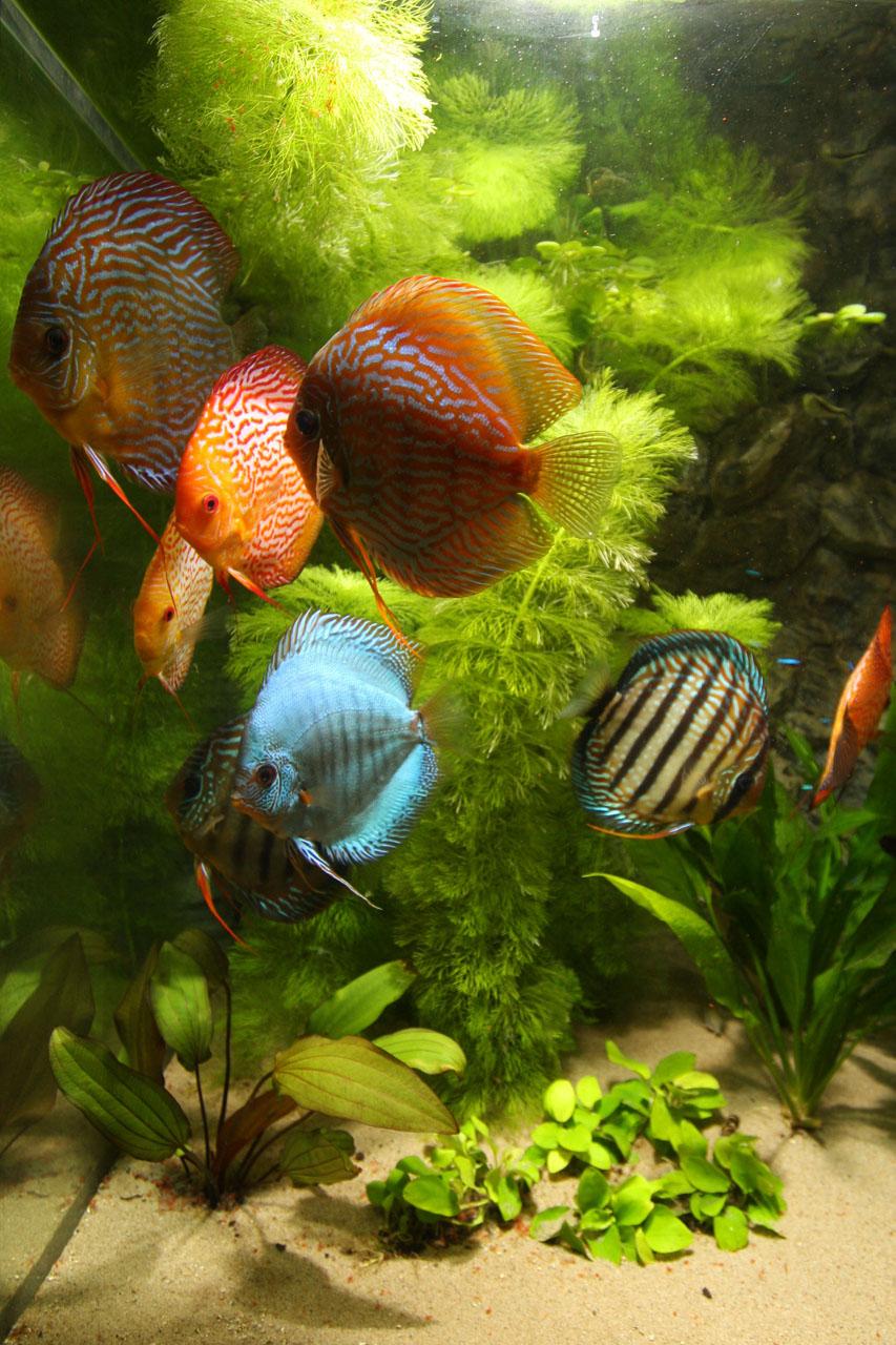 Show aquarium met Stendker discusvissen: Cobalt Blue, Red Turquoise, Pigeon Blood Snake