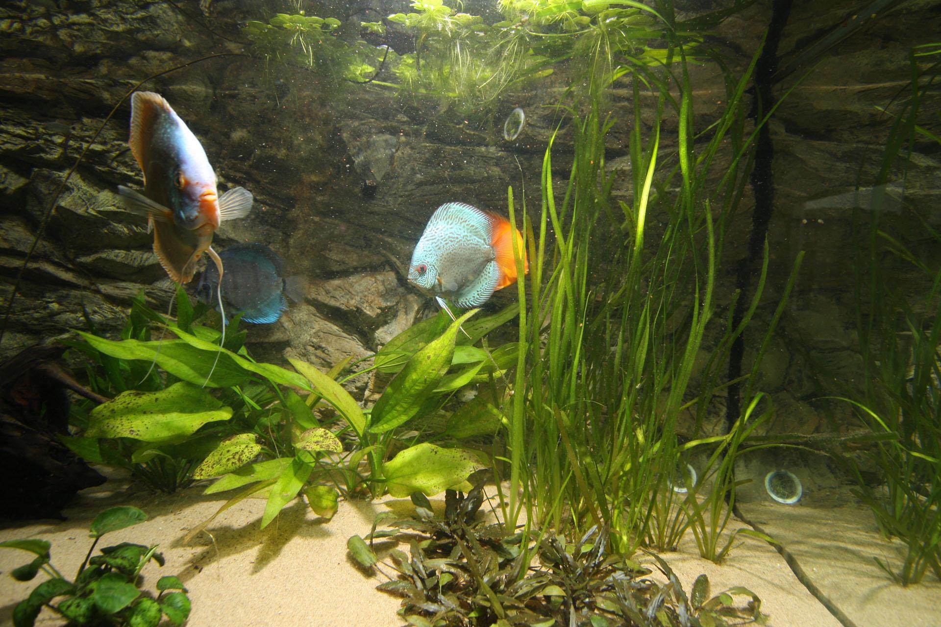 Show aquarium met Stendker discusvissen: Cobalt Blue, Malboro Red