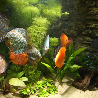 Show aquarium met Stendker discusvissen: Red Turquoise, Malboro Red, Pigeon Snakeskin