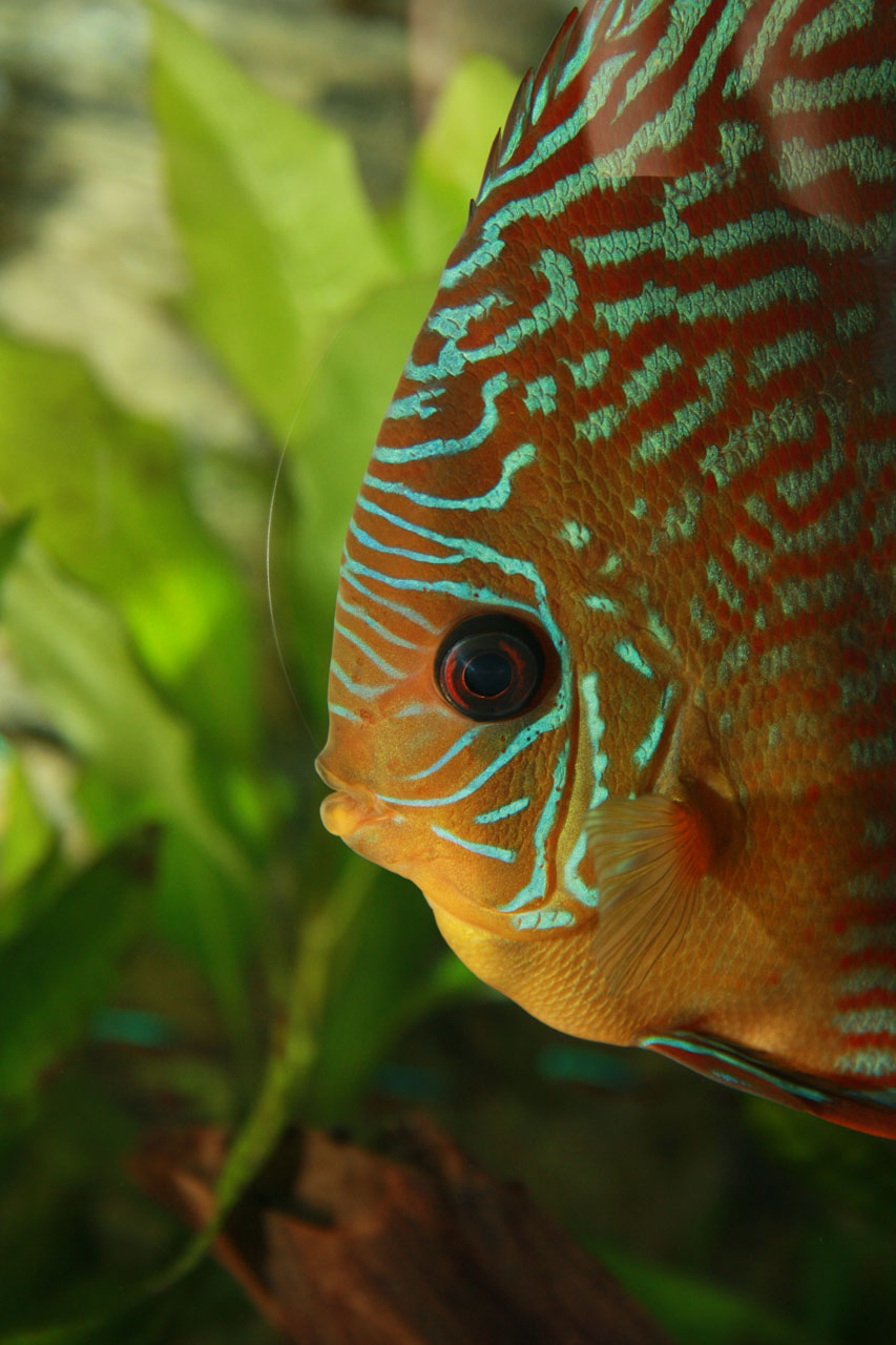 Show aquarium met Stendker discusvissen: Red Turquoise