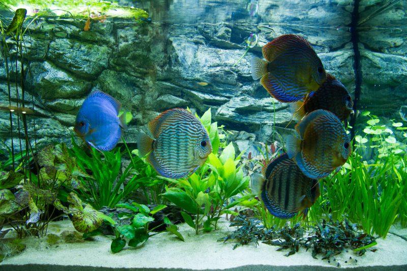Show aquarium met Stendker discusvissen: Red Turquoise, Cobalt Blue